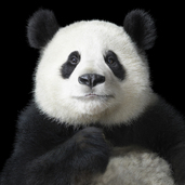 826_tim_flach_panda_portrait_-_photomonth_copy_4718
